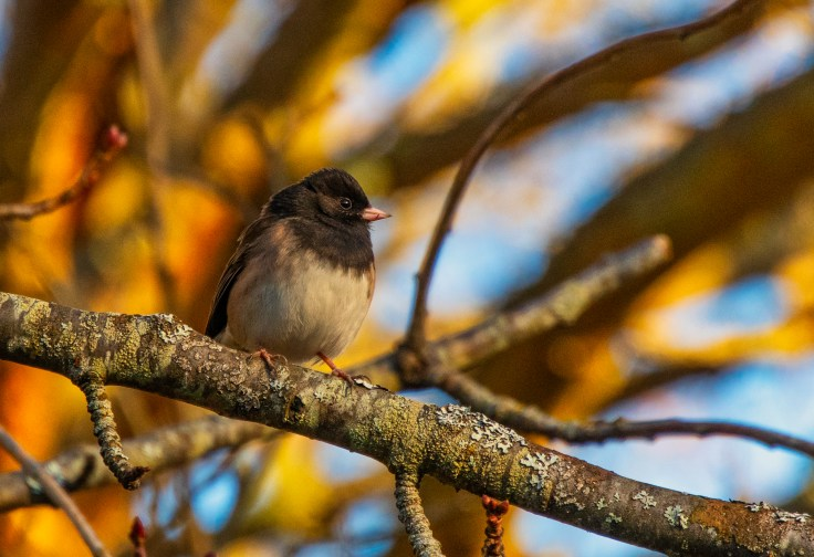 Junco by Allan J Jones Photography
