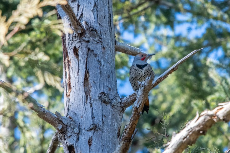 Northern Flicker by Allan J Jones Photography