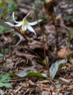 Giant White Fawn Lily