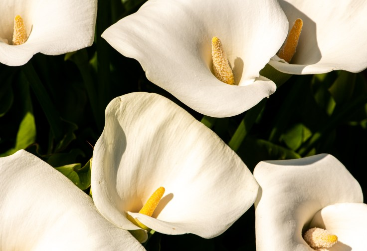 Calla Lily (Color 1) by Allan J Jones Photography