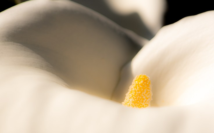 Calla Lily (color 2) by Allan J Jones Photography