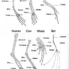 Deer Skeleton Diagram 2005 Nissan 350z Stereo Wiring The Pentadactyl Limb - Environmental Adaptations