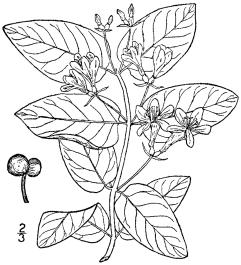Lonicera_tatarica_BB-1913 (1)