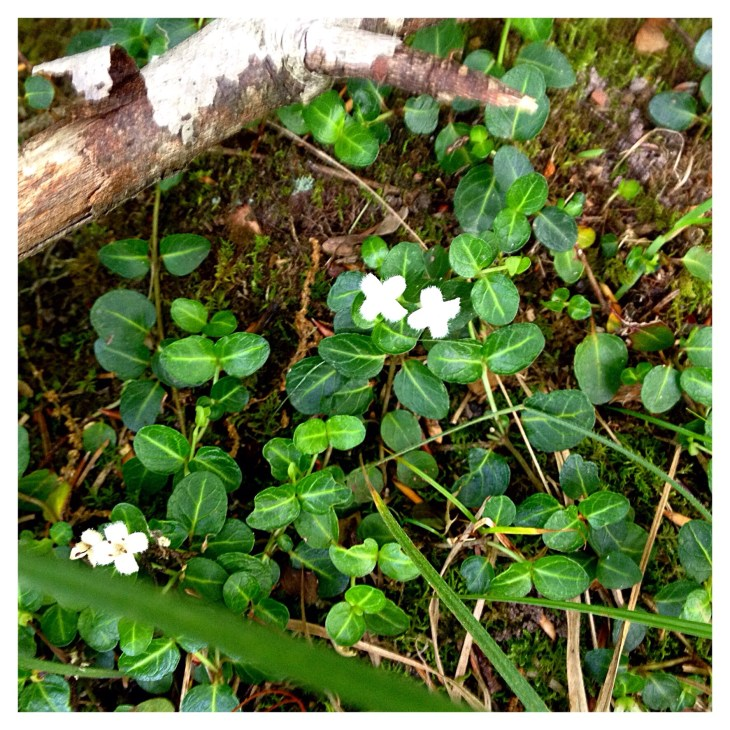 Partridgeberry (Mitchella repens) has small, white flowers and glossy, dark evergreen foliage