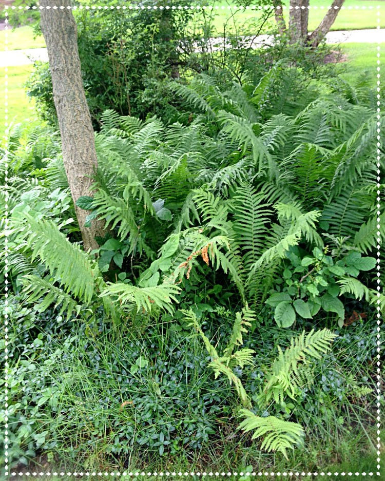 Ostrich ferns spreading in border to fill bare ground