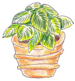 Hosta in terracotta pot