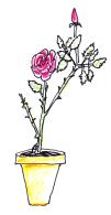 pink rose in terracotta pot