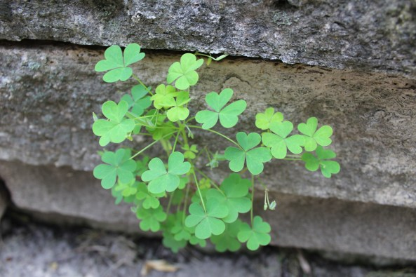 photo of wood sorrel (oxalis) foliage