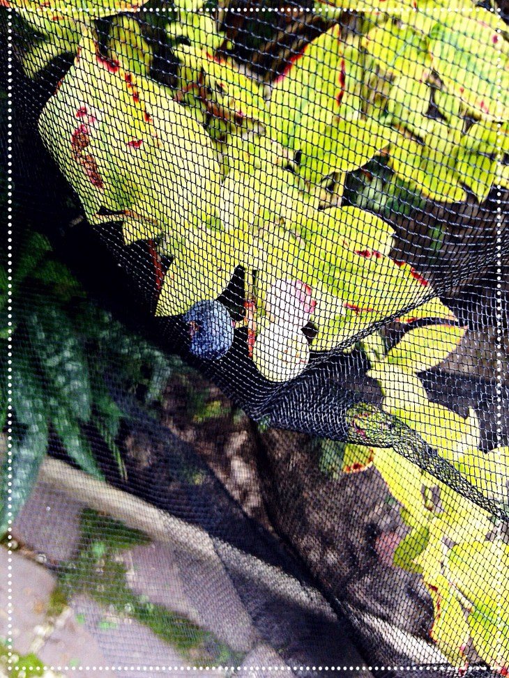 photo close up of blueberries under net.
