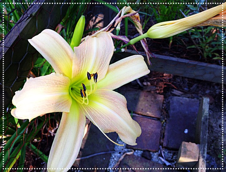 Photo of peach colored daylily