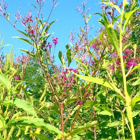 photo of ironweed plants