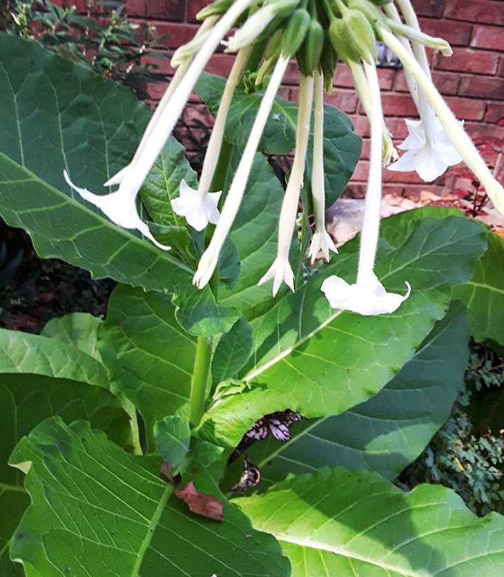 Woodland tobacco (Nicotiana sylvestris) grows to a striking plant about four feet tall.