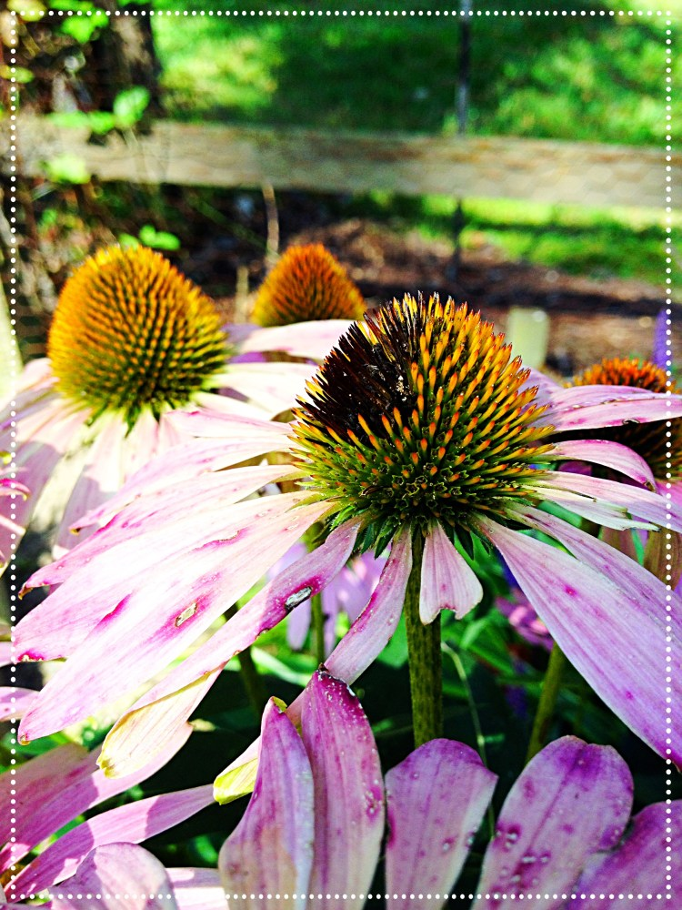 pink cone flower seeds eaten by finches