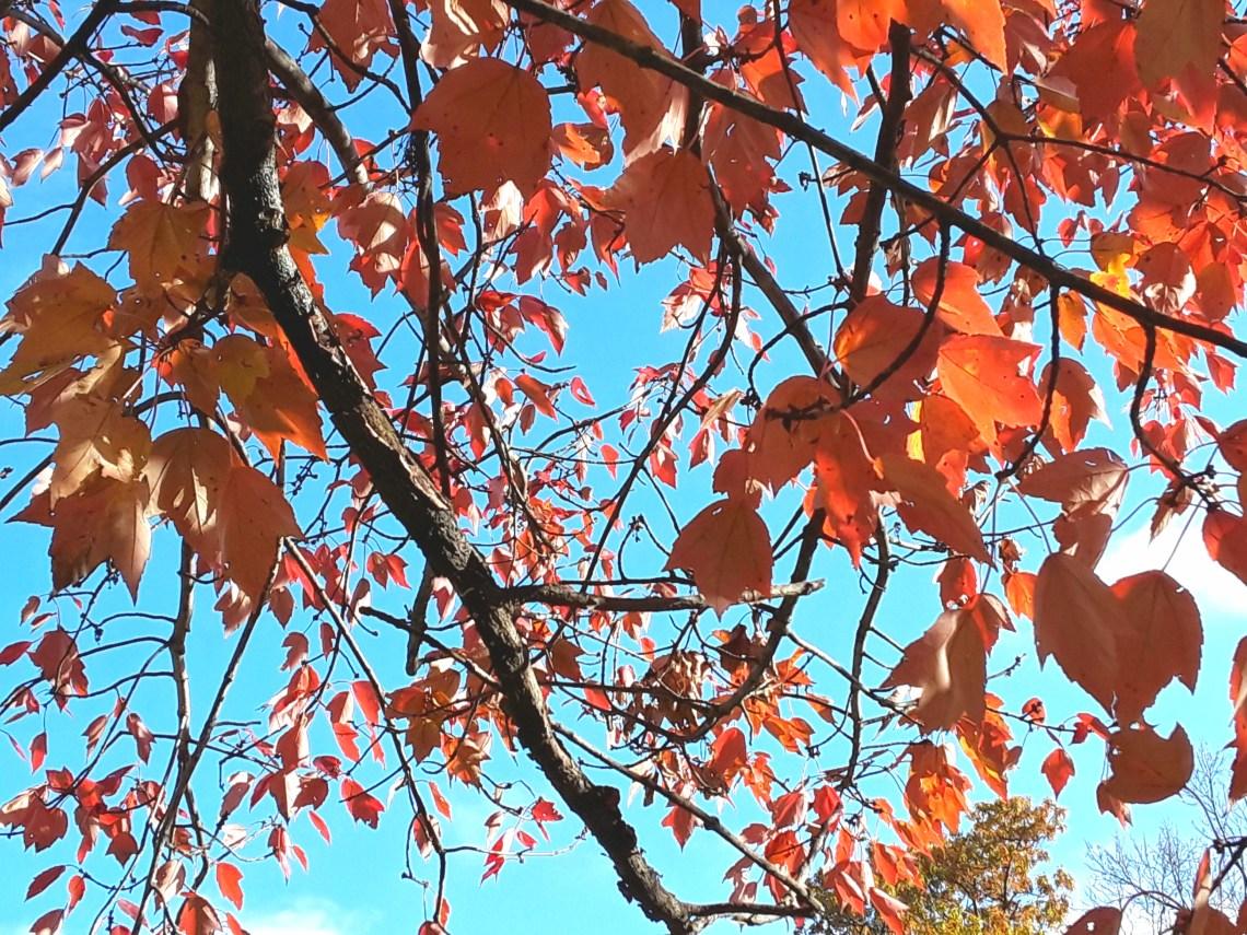 Close up of blaze maple foliage
