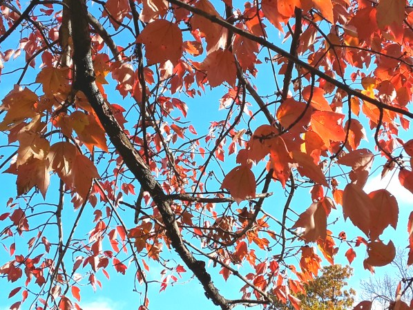 Close up of blaze maple foliage