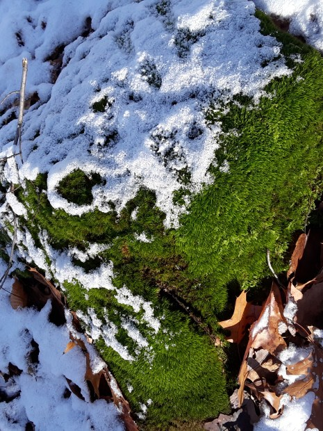 Mossy rock covered in snow