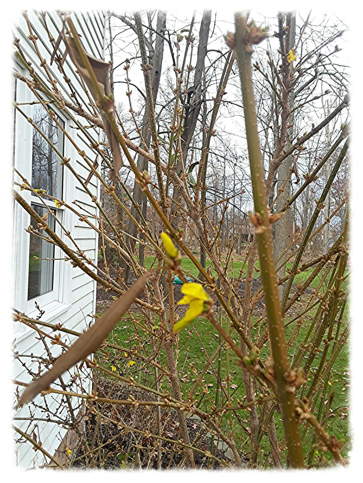 Fall blooms on forsythia plant