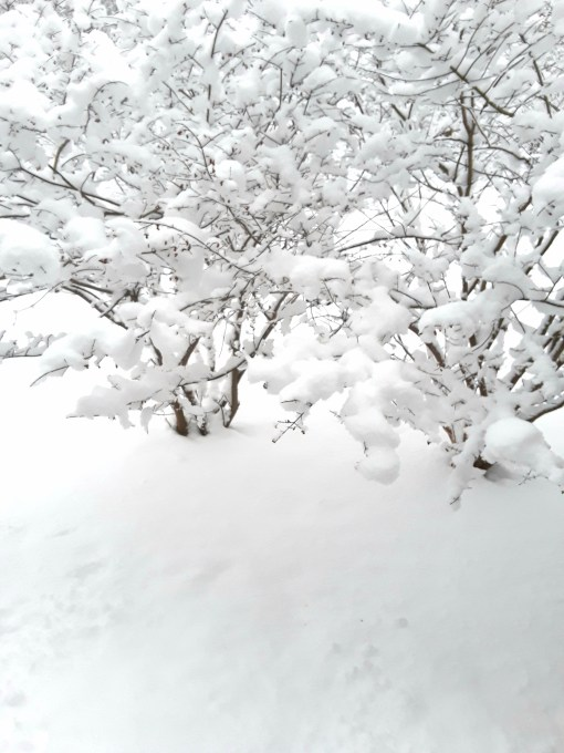Burning bushes covered with several inches of snow.