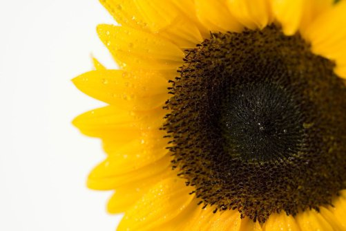 6114-close-up-of-a-sunflower-isolated-on-a-white-background-pv