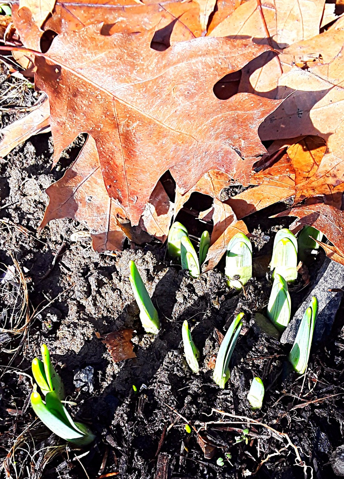 Tips of daffodil foliage emerging from the ground