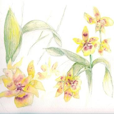 watercolor pencil sketch of orchids