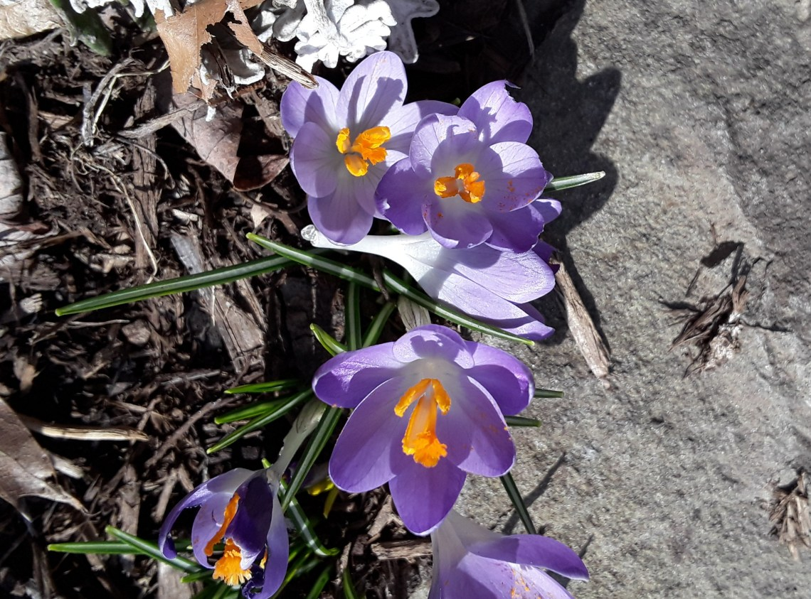 purple crocus bloom against a gray stone border