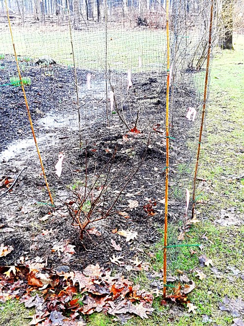Bamboo stakes wrapped neatly with deer netting protects ypung shrubs