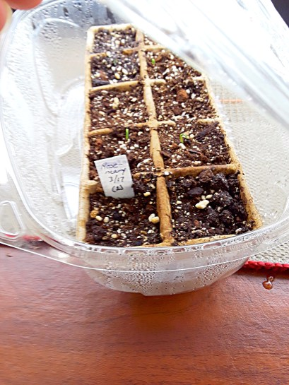 A plastic salad container holds a tray of newly germinating marigold seed.