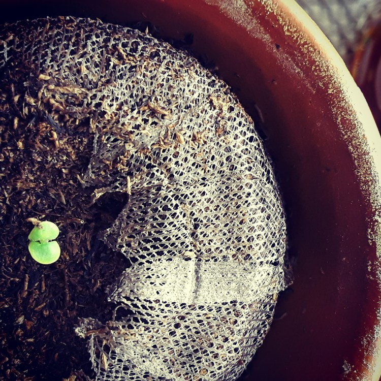 Basil seedling emerges from a well-soaked peat pot.