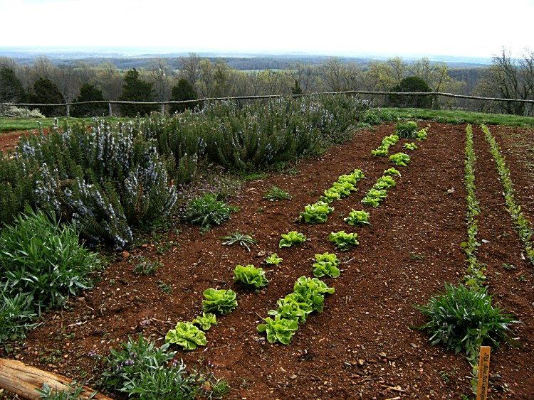 Lettuce and peas in rows in the Monticello vegetable garden.