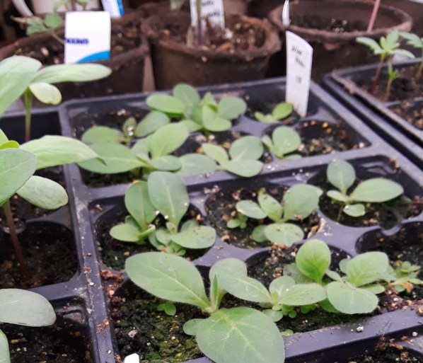 Nicotiana seedlings fill cell containers with their broad basal rosette leaves