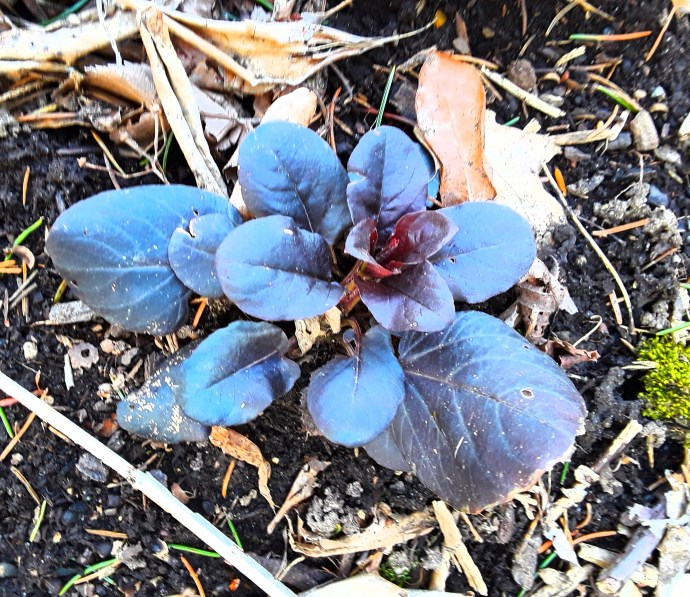 A rosette of purple leaves forms over the winter, and this plant will send up stems from the rosette in the spring