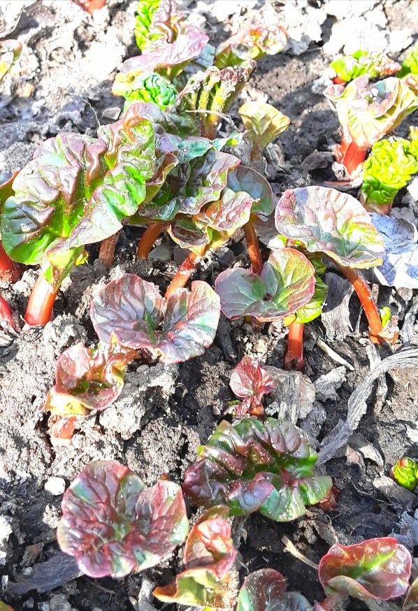 leaves of rhubarb begin pushing through the garden soil, their re stalks visible