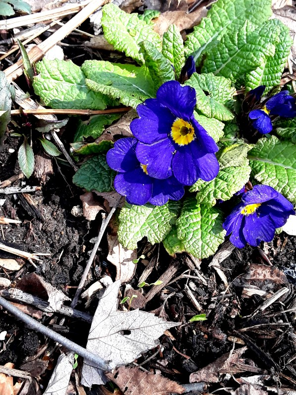 A purple primrose blooms in a shade border.