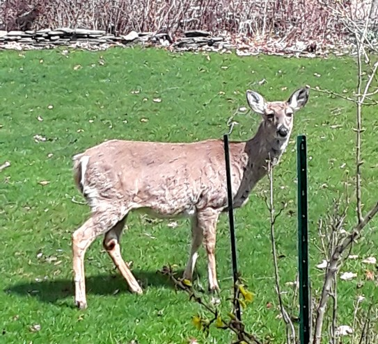 White-tailed doe looks up from grazing in the back yard.