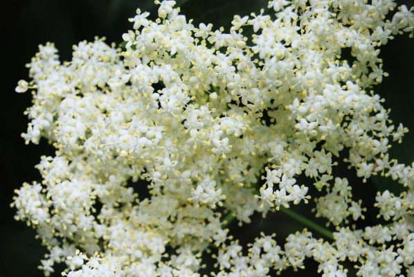 elderberry flowers are held in compound, flat heads
