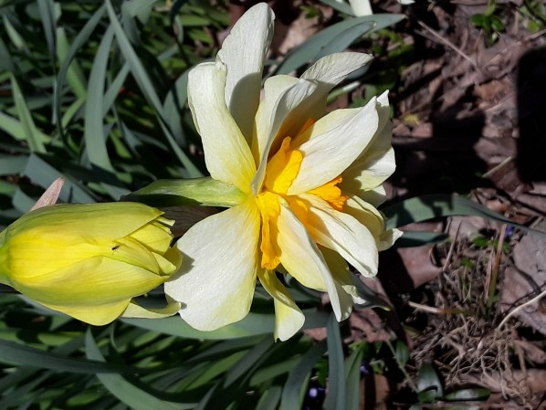 A double daffodil bloom in light and dark yellow.