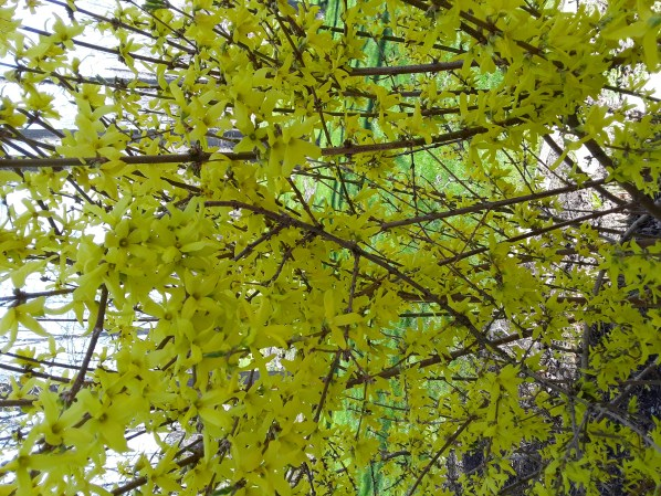 forsythia bush with heavy yellow bloom