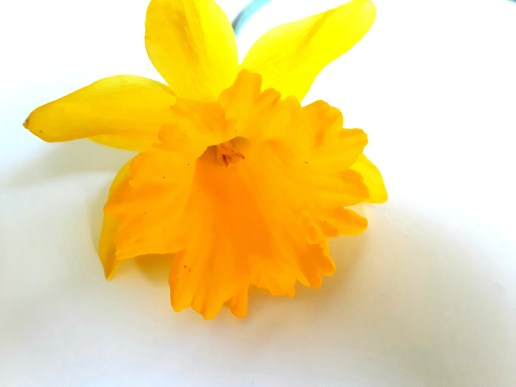 Close up photo of narcissus 'Carlton.'