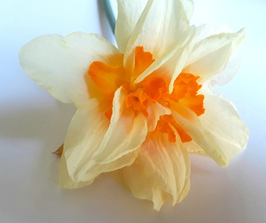 Double flowers on each stem have an orange center and pale yellow petals