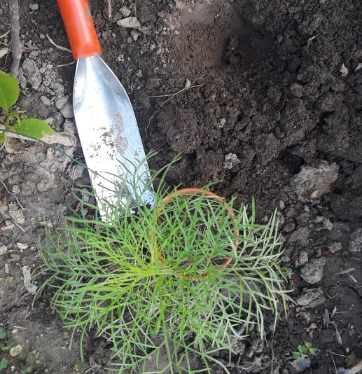 Cosmos seedling next to planting hole