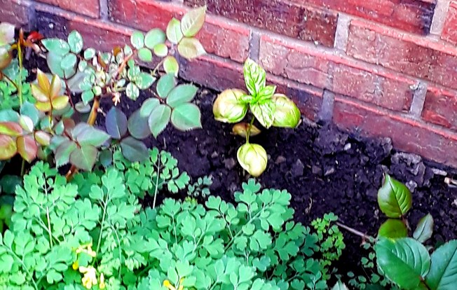 Basil is planted with rose bushes