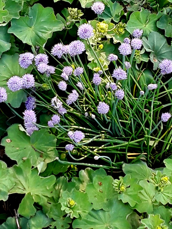 chives, with purple flowers blooming, grow in a mixed flower border