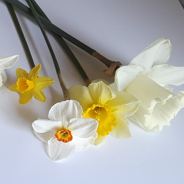 four varieties of narcissus, trumpet cup, large cup, poeticus, and small cup