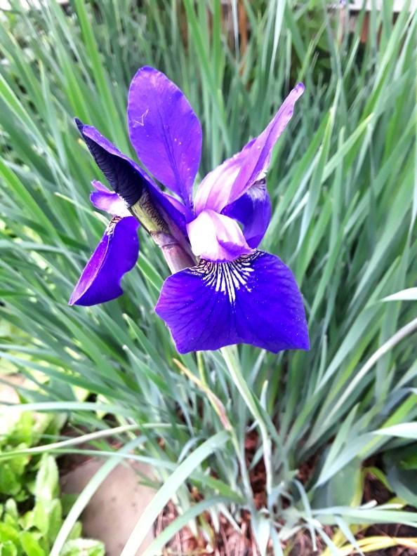 Siberian iris is a deep purple-blue
