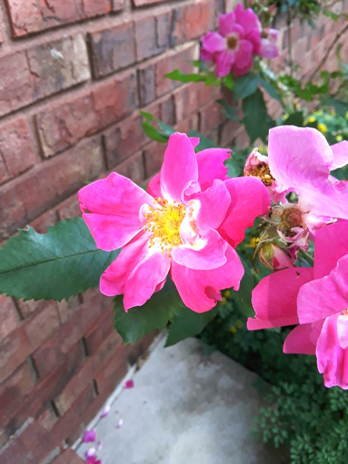 """Single rose """"William Baffin"""" is pure, clear pink with yellow stamen."""