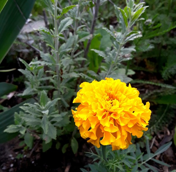 a yellow gold marigold illuminates the flower border