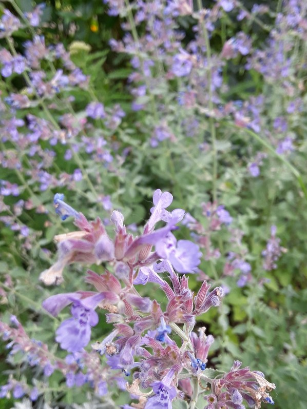 "Catmint (nepeta) Send up flower spikes in a lavender ""mist."""