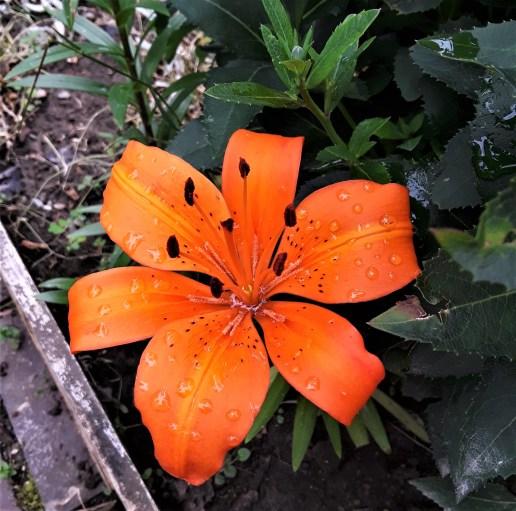 Lily with orange petals and dark brown stamen