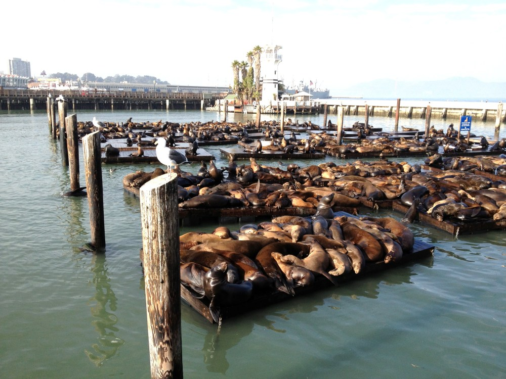 Seals at Fisherman's Wharf lay on floating docks along the boardwalk